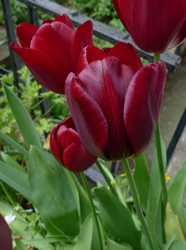 National Velvet red tulips