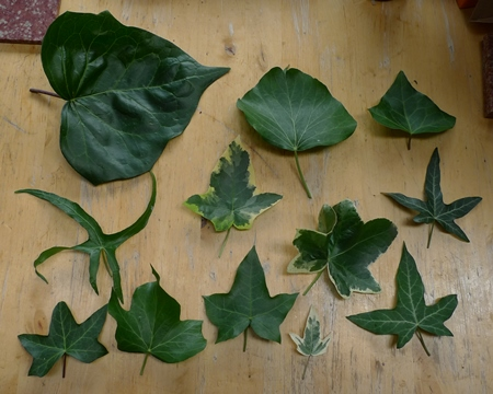 ivy leaf comparison