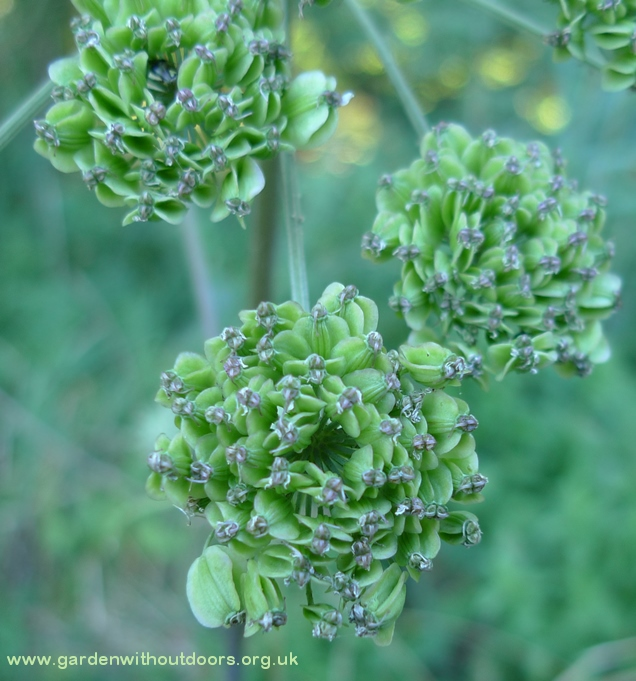 wild angelica seedheads close-up