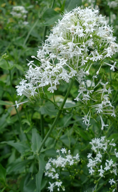 white valerian flower