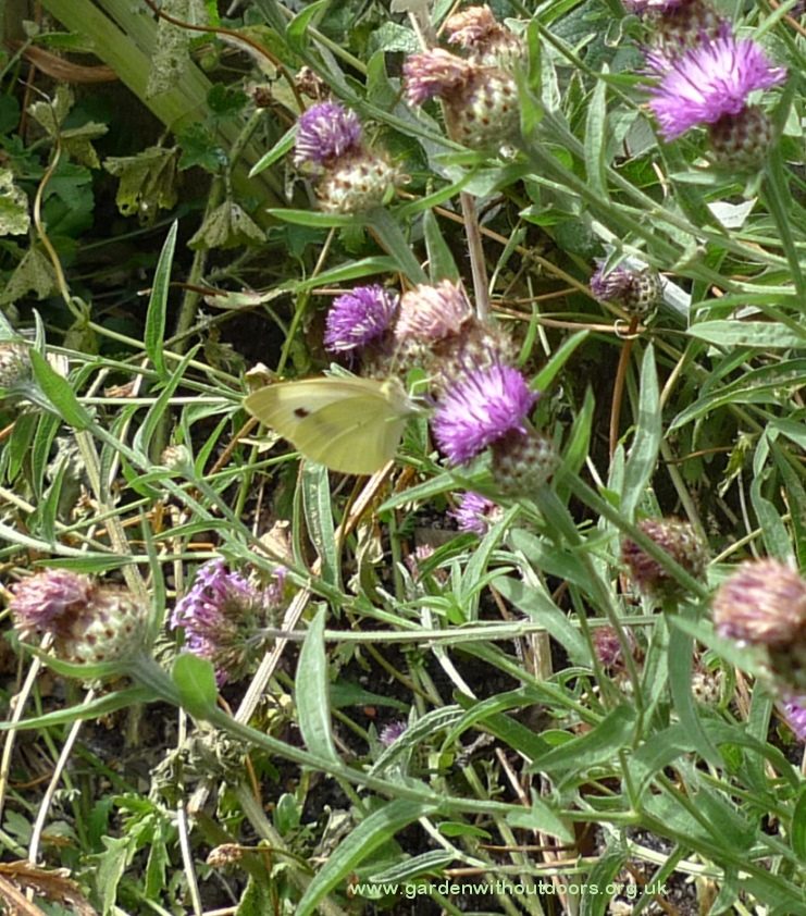 butterfly on lesser knapweed