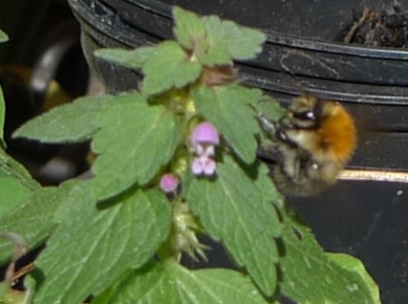 bee on deadnettle