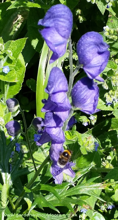 bee on monkshood