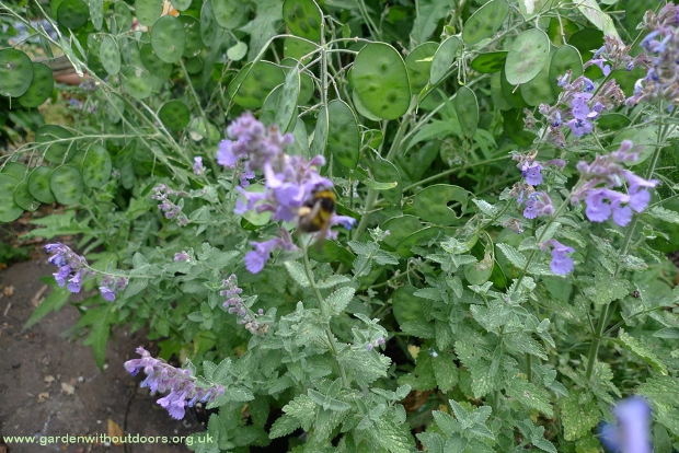 bee on nepeta