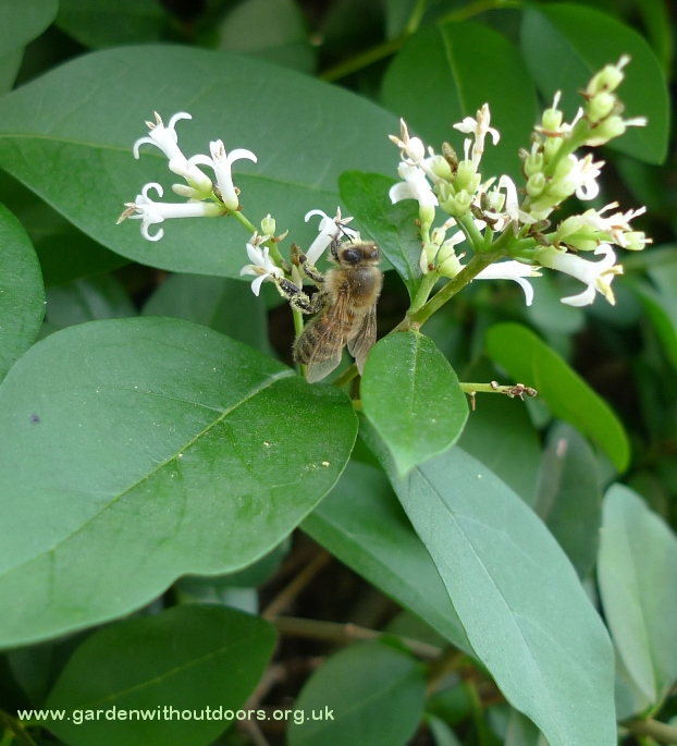 bee on privet flower