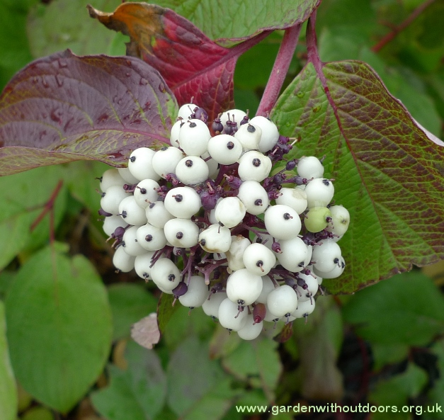 cornus white berries