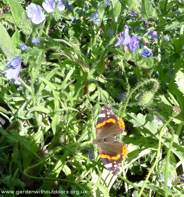 echium with red admiral butterfly