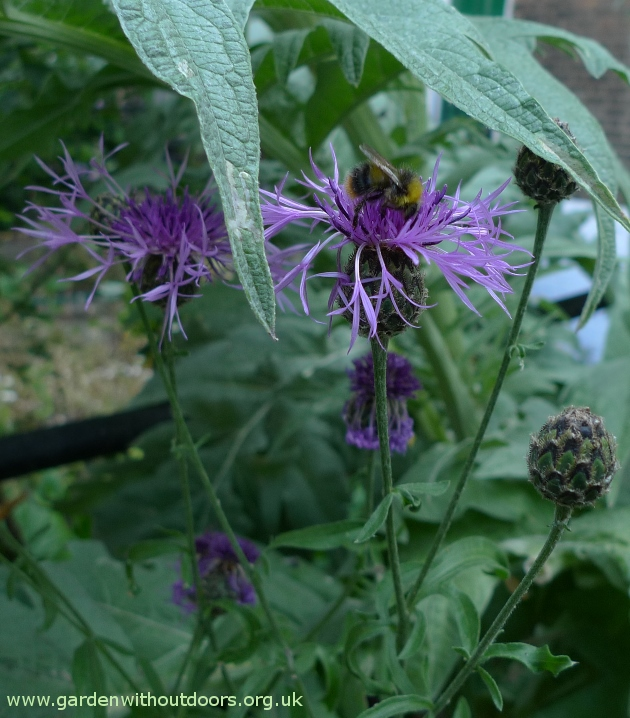 greater knapweed bee