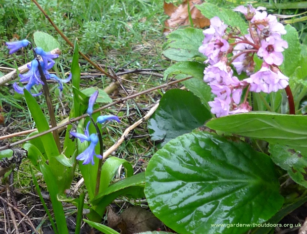 previously forced hyacinths and bergenia