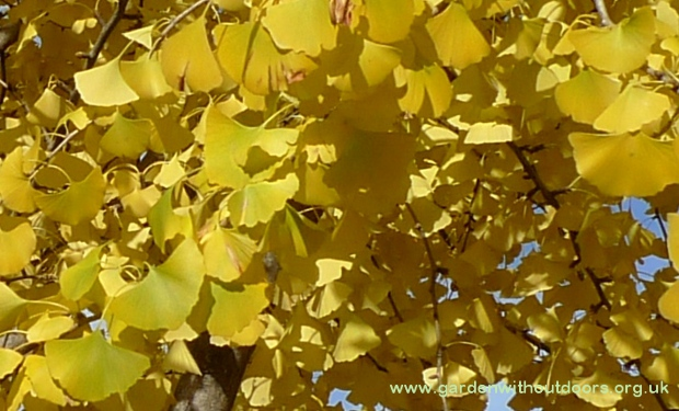 maidenhair tree Ginkgo biloba leaves