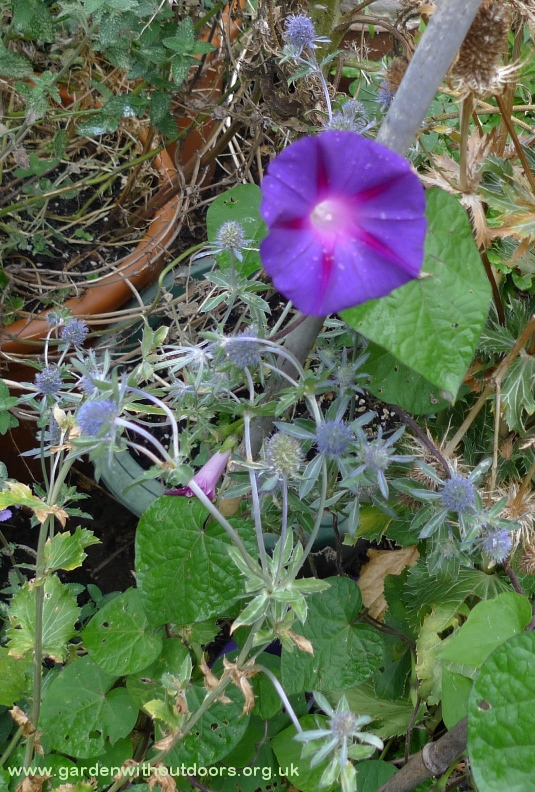 morning glory and sea holly