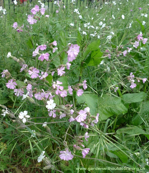 red and white campion