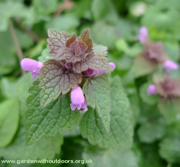 close-up red dead-nettle