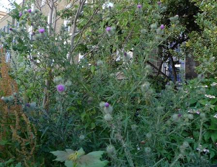 spear thistle flowers