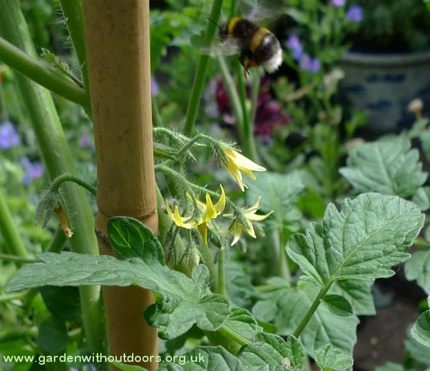 tomato flowers with bee
